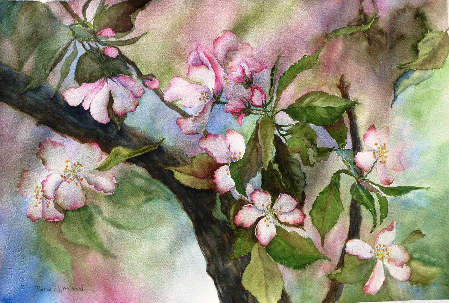 "Apple Blossoms, Watercolor, 22"" x 15"""